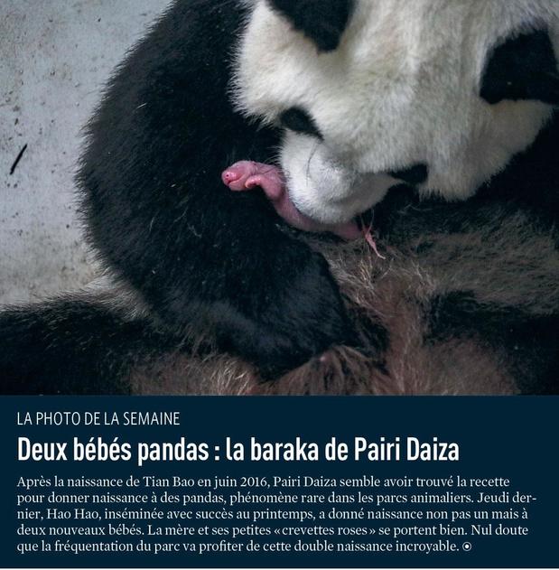 Deux bébés pandas : la baraka de Pairi Daiza