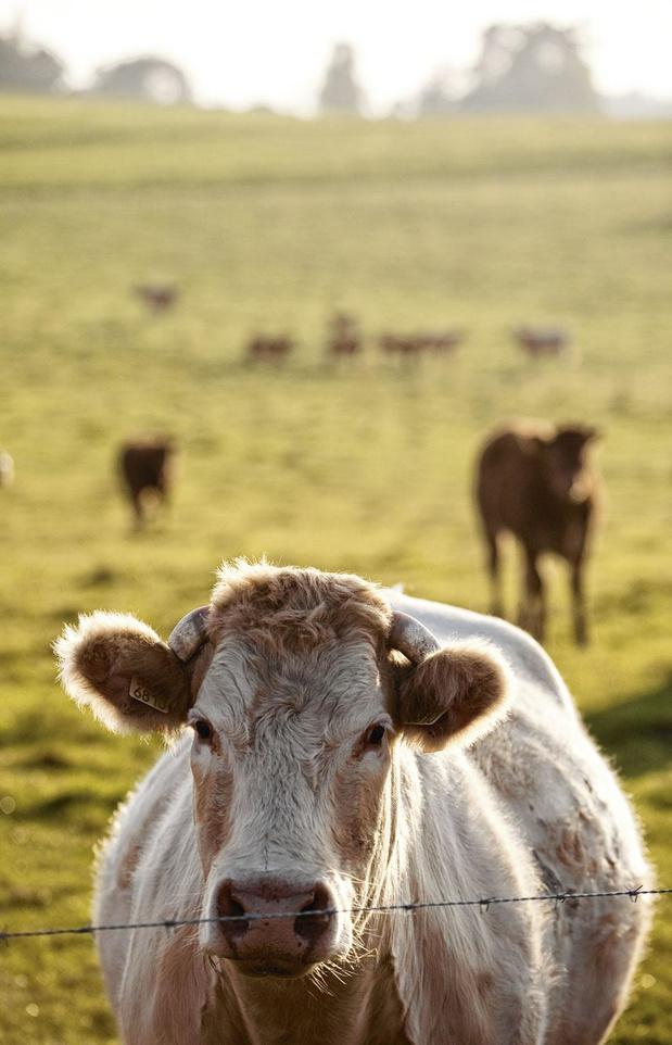 La vache, cette mal-aimée