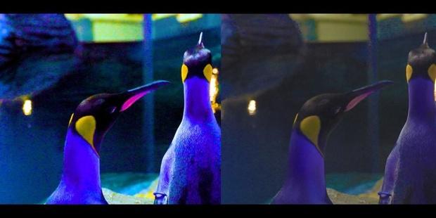 Zoo Antwerpen stimuleert partnerkeuze van pinguïns met speciaal licht