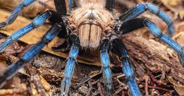 Nieuwe tarantula