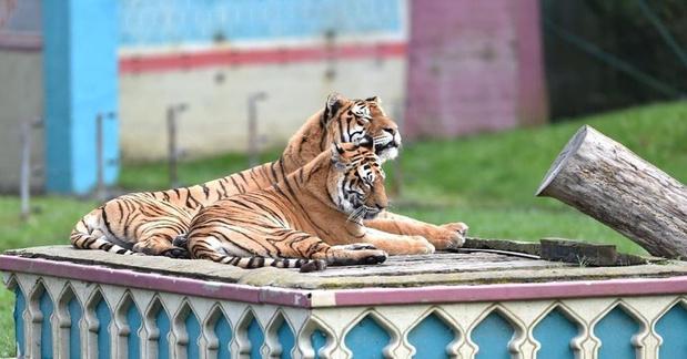 Bellewaerde moet tijgers Kiara en Mira laten inslapen wegens pijnlijke chronische problemen