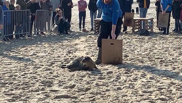 VIDEO - Twee zeehonden uitgezet onder grote belangstelling