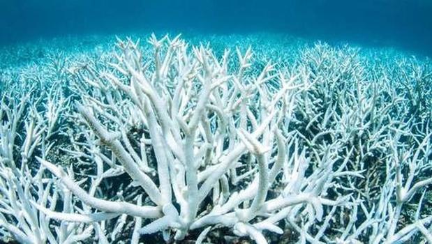 Australie: la moitié des coraux de la Grande Barrière sont morts en 25 ans