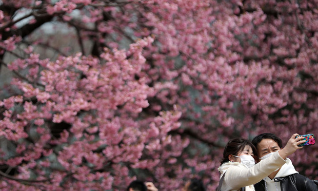 Malgré le virus, le Japon fête la floraison des cerisiers