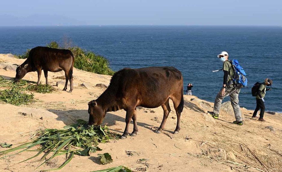 """L""""île couverte d'herbe"""" et les plus si sauvages boeuf hongkongais (en images)"""