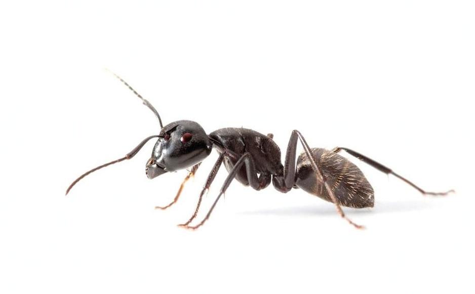 Beestenboel: het draaigatje is de 'twerker' onder de mieren