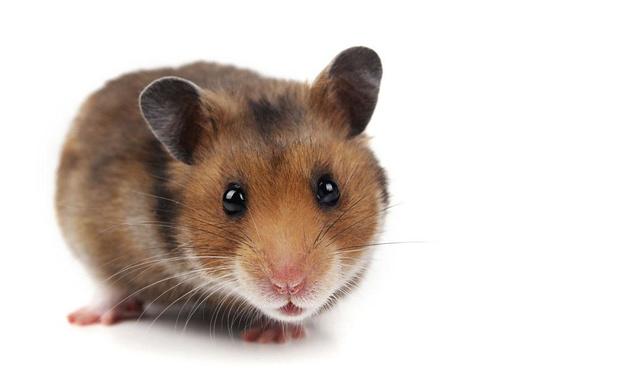 Een hamster in huis