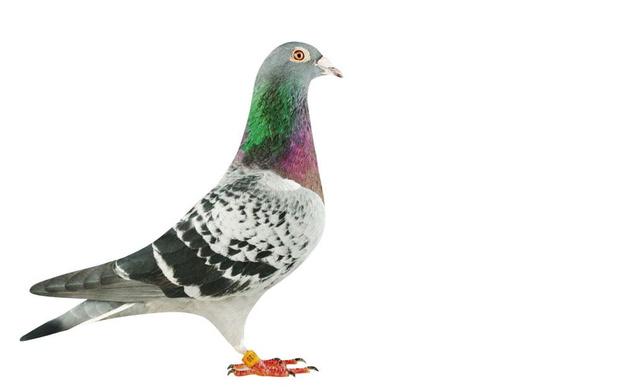 Hoe zou het zijn met... Armando, de duif van 1,252 miljoen euro?