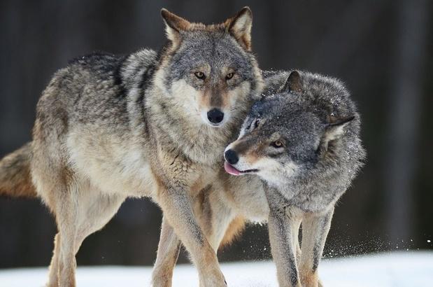 Frankrijk: wolvenpopulatie groeit trager