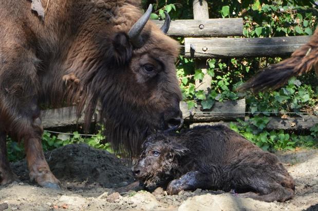 Bellewaerde verwelkomt bizonjong en drie doodshoofdaapjes