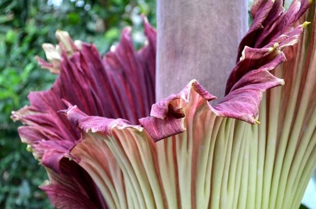 Suivez la floraison de l'arum titan du Jardin botanique de Meise