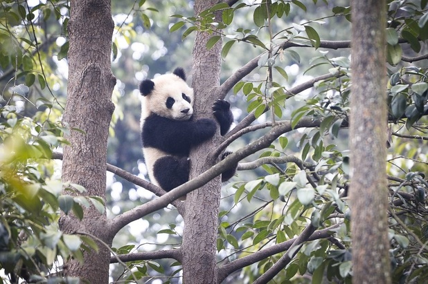 China ontwikkelt app om panda's individueel te herkennen