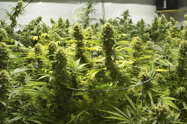 Cannabisdealer hangt 37 maanden cel boven het hoofd