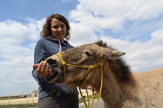 Le cheval de Przewalski prospère à Tchernobyl (en images)
