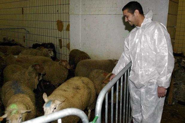 L'interdiction flamande d'abattage sans étourdissement contraire au droit de l'Europe
