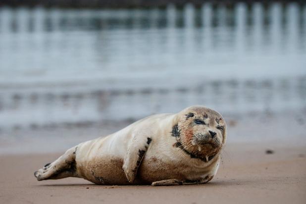 La présence de phoques sur la Côte belge a augmenté en 2019