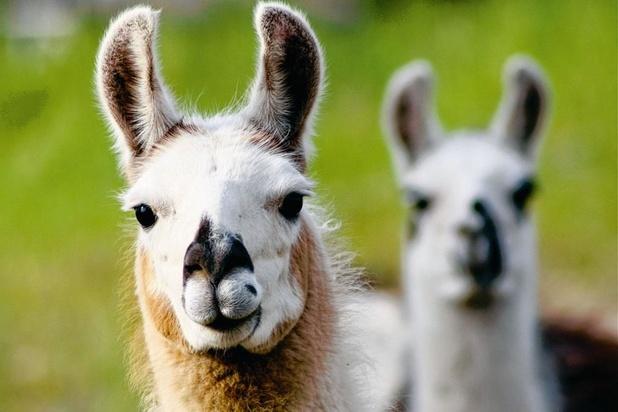 Le lama détient peut-être la clé pour contrer le coronavirus