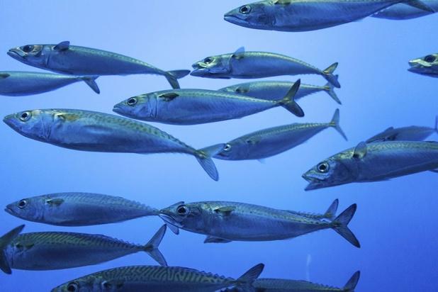 Mangerons-nous bientôt des sardines et du thon provenant de la mer du Nord?