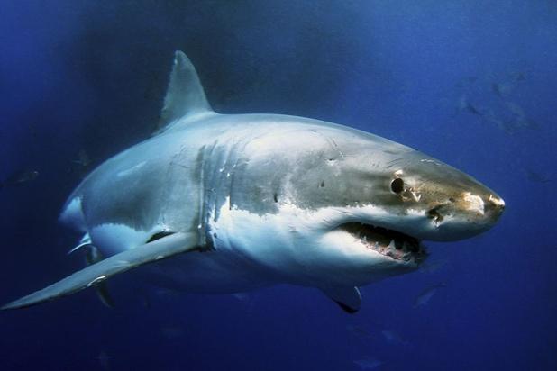 Pourquoi les requins figurent parmi les plus vieilles espèces animales ?
