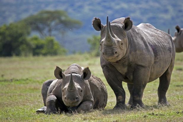 Tanzania probeert Serengeti te herbevolken met neushoorns