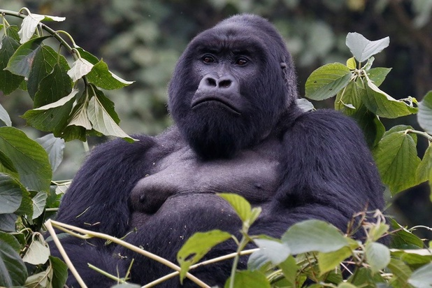Les gorilles pleurent leurs morts