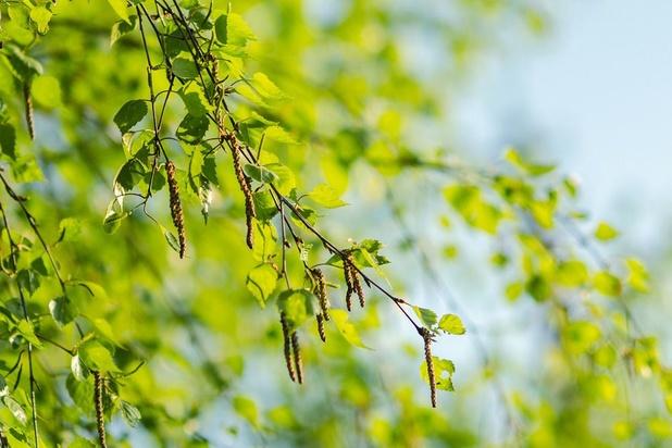 La saison du pollen de bouleau a officiellement démarré en Belgique