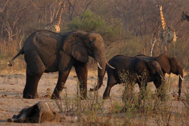 Wereldnatuurfonds: dringende actie nodig om uitsterving Afrikaanse olifant te voorkomen