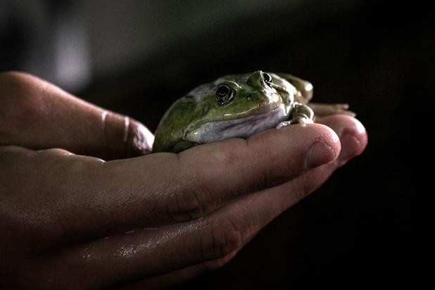 """Eleveurs de grenouilles en France, une denrée rare et prisée aux pays des """"froggies"""""""