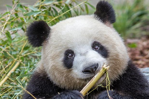 Zoo in Berlijn verwelkomt pandatweeling