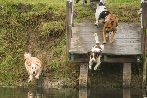 Hondenzwemming lokt massa volk naar Sint-Baafs-Vijve ondanks regenbuien