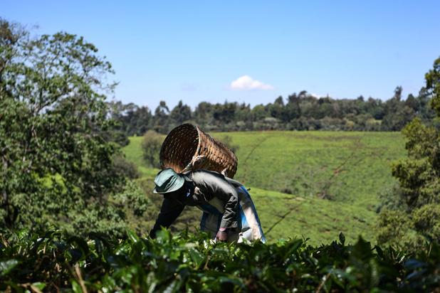 Le thé kenyan se diversifie