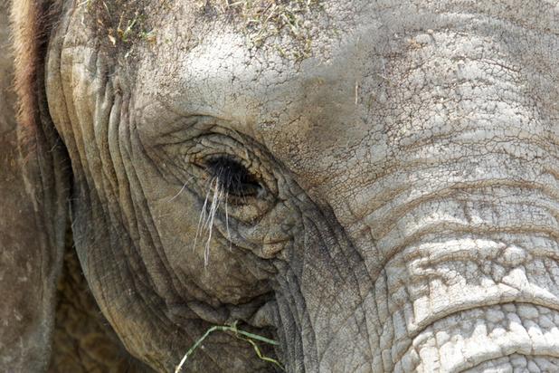 'Van olifanten in Namibië tot kraaien in Lubbeek: ondoordachte maatregelen tegen dieren zijn funest'