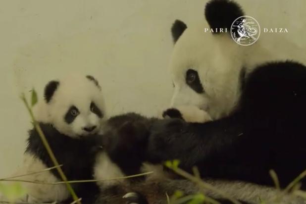 Pairi Daiza publie une nouvelle vidéo craquante des bébés pandas