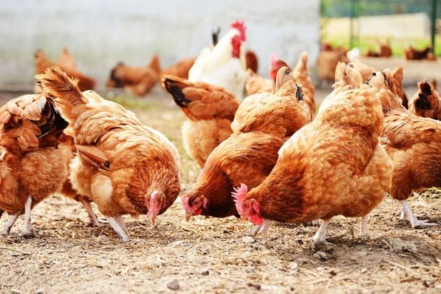 Grippe aviaire: premier foyer dans un élevage au Danemark, 25.000 volailles abattues