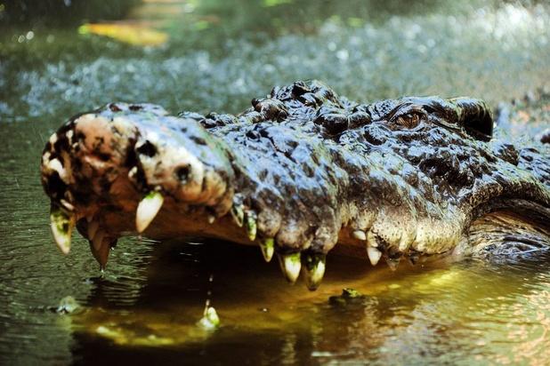 Les ancêtres des crocodiles auraient marché sur deux pattes
