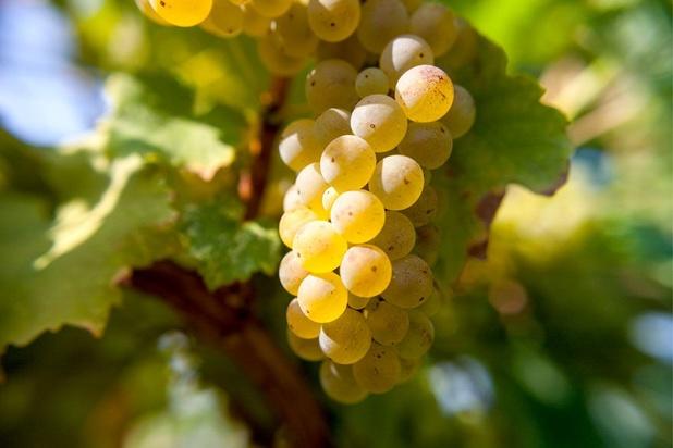 Riesling: de koningin der wijndruiven