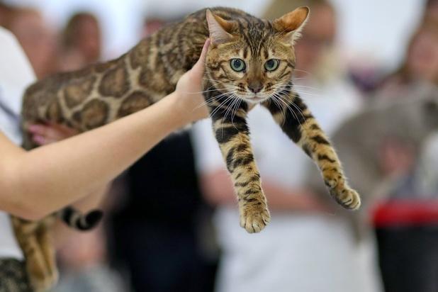 """Les chats hybrides et """"Fold"""" seront interdits à Bruxelles"""