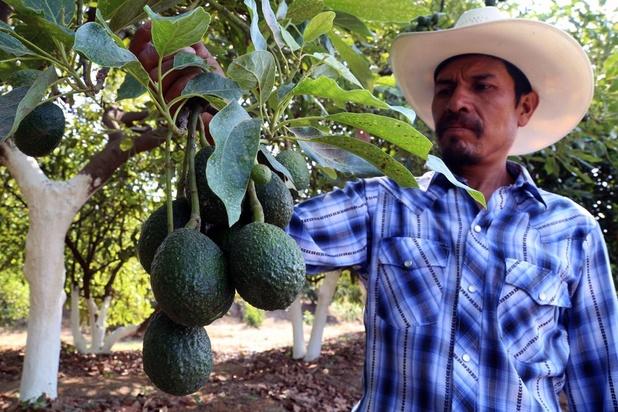 A Tochimilco, ville mexicaine de l'avocat, les projets de Trump font trembler