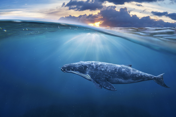 """Pour absorber le CO2, """"une seule baleine vaut des milliers d'arbres"""""""