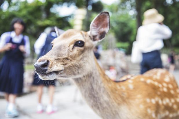 Le plastique fatal aux daims du parc de Nara, haut-lieu du tourisme au Japon