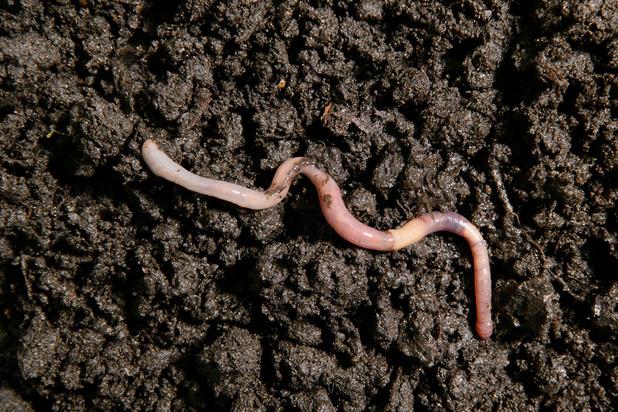 Is de regenworm stilaan aan het verdwijnen?