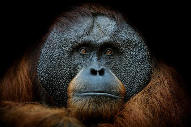 Les orangs-outangs cherchent aussi l'amour sur Tinder