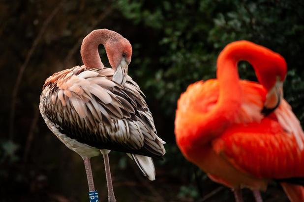 Flamingokuikentje Umi piept uit het ei