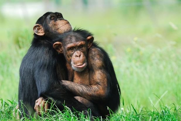 Steven Wise is advocaat van de dieren: 'Mijn voornaamste cliënten zijn olifanten en chimpansees'