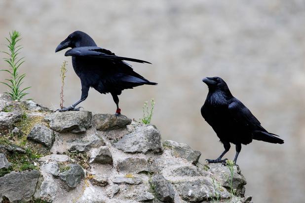 Mais où est la reine des corbeaux de la Tour de Londres ?