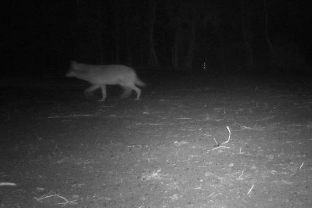 La louve Naya a probablement été abattue