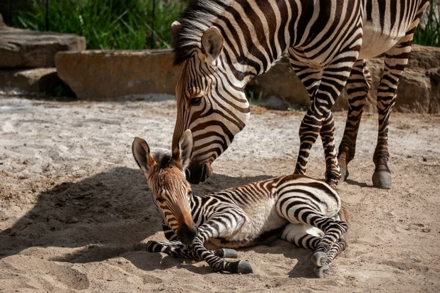 Kleine zebra geboren in ZOO Antwerpen