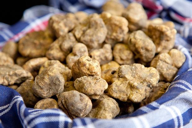 La truffe blanche d'Italie désormais produite en France