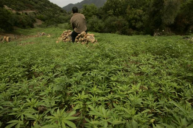 Le Maroc sur la voie de la légalisation de la production et de l'usage thérapeutique du cannabis