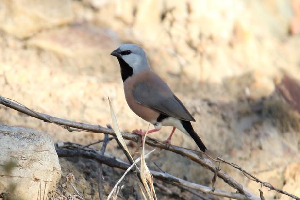 Bedreigde vogel in het centrum van steenkoolmijncontroverse is Australische vogel van het jaar